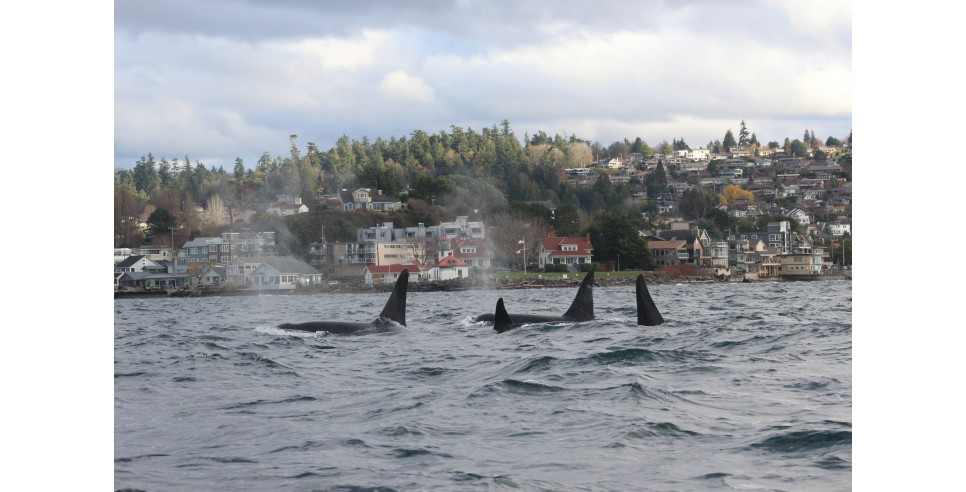 The K pod swims near the Alki Point Lighthouse in West Seattle – photo credit Mark Sears, permit 21348
