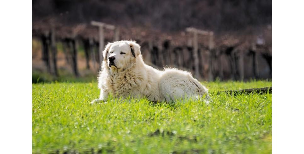 Bella, a Maremma Shepherd